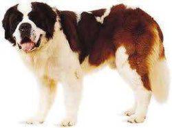 Nagy, óriás testű kutyáknak