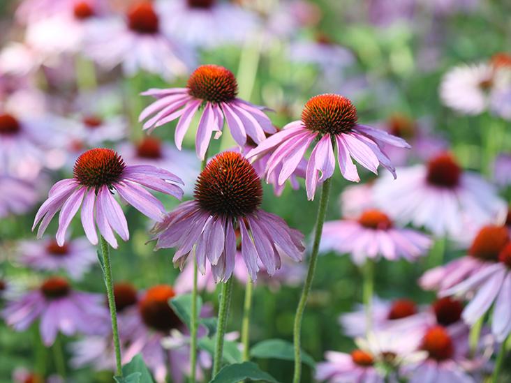 Echinacea hatása az immunrendszerre